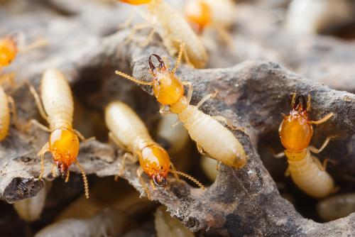 How Do Termites Destroy Home?